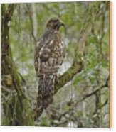 Juvenile Short-tailed Hawk Wood Print