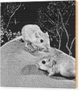 Kangaroo Rat Wood Print