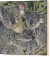 Koala Phascolarctos Cinereus Mother Wood Print by Gerry Ellis