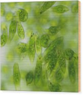 Light Micrograph Of A Group Of Euglena Gracilis Wood Print by Sinclair Stammers