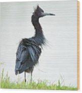 Little Blue Heron Portrait Wood Print