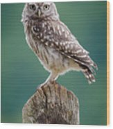 Little Owl Wood Print