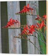 Lucifer Crocosmia By Fence Wood Print