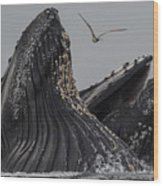 Lunge-feeding Humpback Whales In Monterey Bay Wood Print