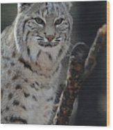 Lynx Perched In A Tree Wood Print