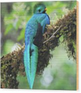 Male Quetzal Wood Print