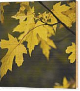 Maple Leafs Of Yellow Wood Print