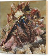 Marine Hermit Crab Wood Print