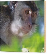 Mauritian Cynomolgus Macaques In The Wild Wood Print