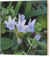 Mexican Clover Wood Print