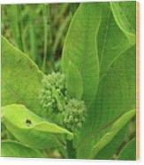 Milkweed Flower Buds  Wood Print
