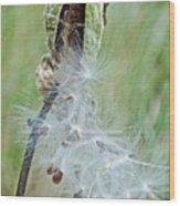 Milkweed Pod On Trail To North Beach Park In Ottawa County, Michigan Wood Print