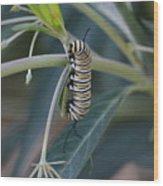 Monarch Catterpillar  Wood Print