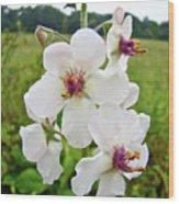 Moth Mullein Wildflowers - Verbascum Blattaria Wood Print