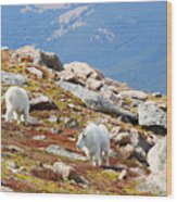 Mountain Goats On Mount Bierstadt In The Arapahoe National Forest Wood Print
