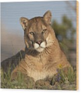 Mountain Lion Portrait North America Wood Print