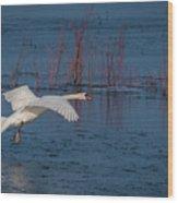Mute Swan In Flight Wood Print