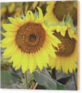 Nice Sunflowers Wood Print