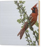 Northern Cardinal Portrait Wood Print