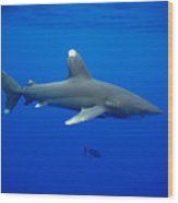 Oceanic Whitetip Shark Wood Print