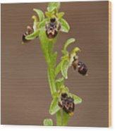 Ophrys Carmeli Wood Print