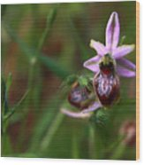 Ophrys -wild Orchid Wood Print