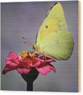 Orange Sulphur Butterfly Portrait Wood Print