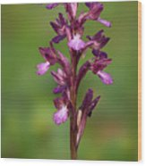 Orchis Papilionacea Wood Print