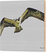 Osprey Looking For Lunch Wood Print