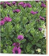 Osteospermum Flowers Wood Print by Erin Paul Donovan