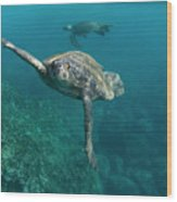 Pacific Green Sea Turtle Chelonia Mydas Wood Print