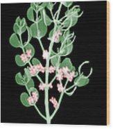Pacific Mistletoe, Phoradendron Wood Print