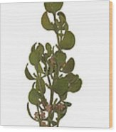 Pacific Mistletoe Wood Print