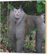 Pig-tailed Macaque Wood Print