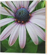 Pink African Daisy Wood Print