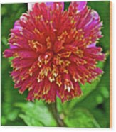 Pink And Yellow Dahlia In Golden Gate Park In San Francisco, California  Wood Print