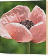 Pink Poppy Wood Print
