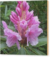 Pink Rhododendron 0070 Wood Print