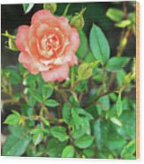 Pink Rose In The Garden Wood Print