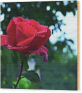 Pink Rose With Dew Drops Wood Print