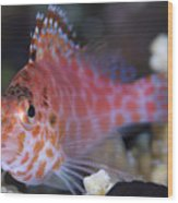Pixy Hawkfish, Kimbe Bay, Papua New Wood Print