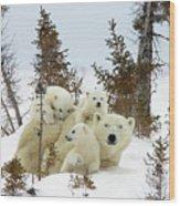 Polar Bear Ursus Maritimus Trio Wood Print by Matthias Breiter
