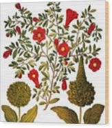 Pomegranate, 1613 Wood Print