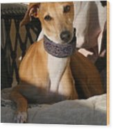 Portrait Of An Italian Greyhound Wood Print
