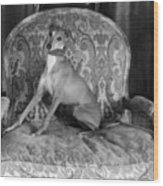 Portrait Of An Italian Greyhound In Black And White Wood Print