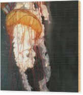Portuguese Man-of-war Wood Print
