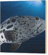 Potato Grouper, Australia Wood Print