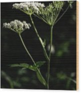 Queen Anne Lace Wood Print