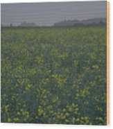 Rapeseed Dawn Wood Print