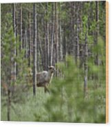 Rare And Wild. Finnish Forest Reindeer Wood Print